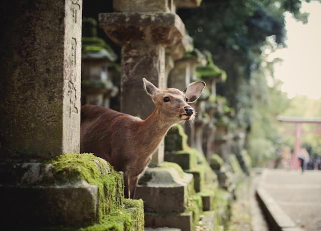 deer in Nara - the cat you and us