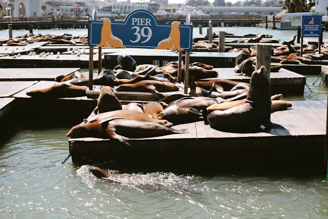 Sea lions at SF - The cat, you and us