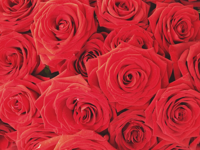 Red roses for Sant Jordi - The cat, you and us