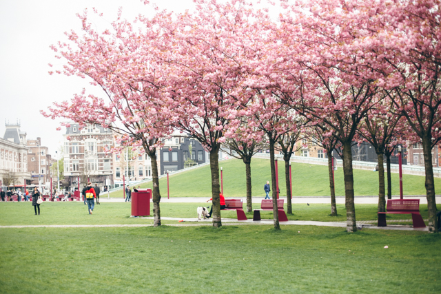Pink trees at Museumplein - The cat, you and us