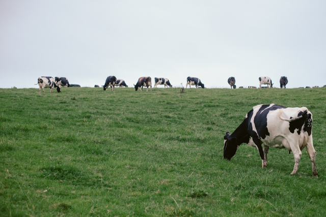 South Wales cows - The cat, you and us