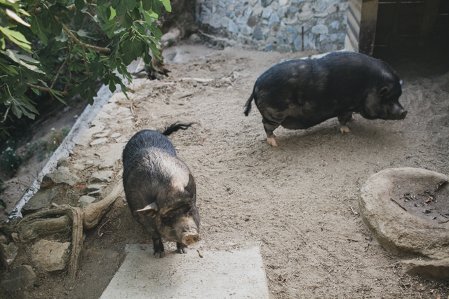 Vietnamese pigs - The cat, you and us