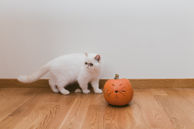 Cat Pumpkin craving - The cat, you and us