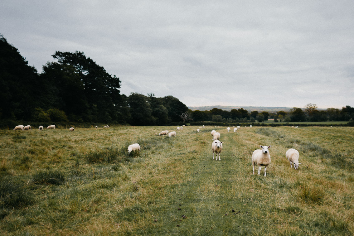 Sheep in Cotswolds - The cat, you and us