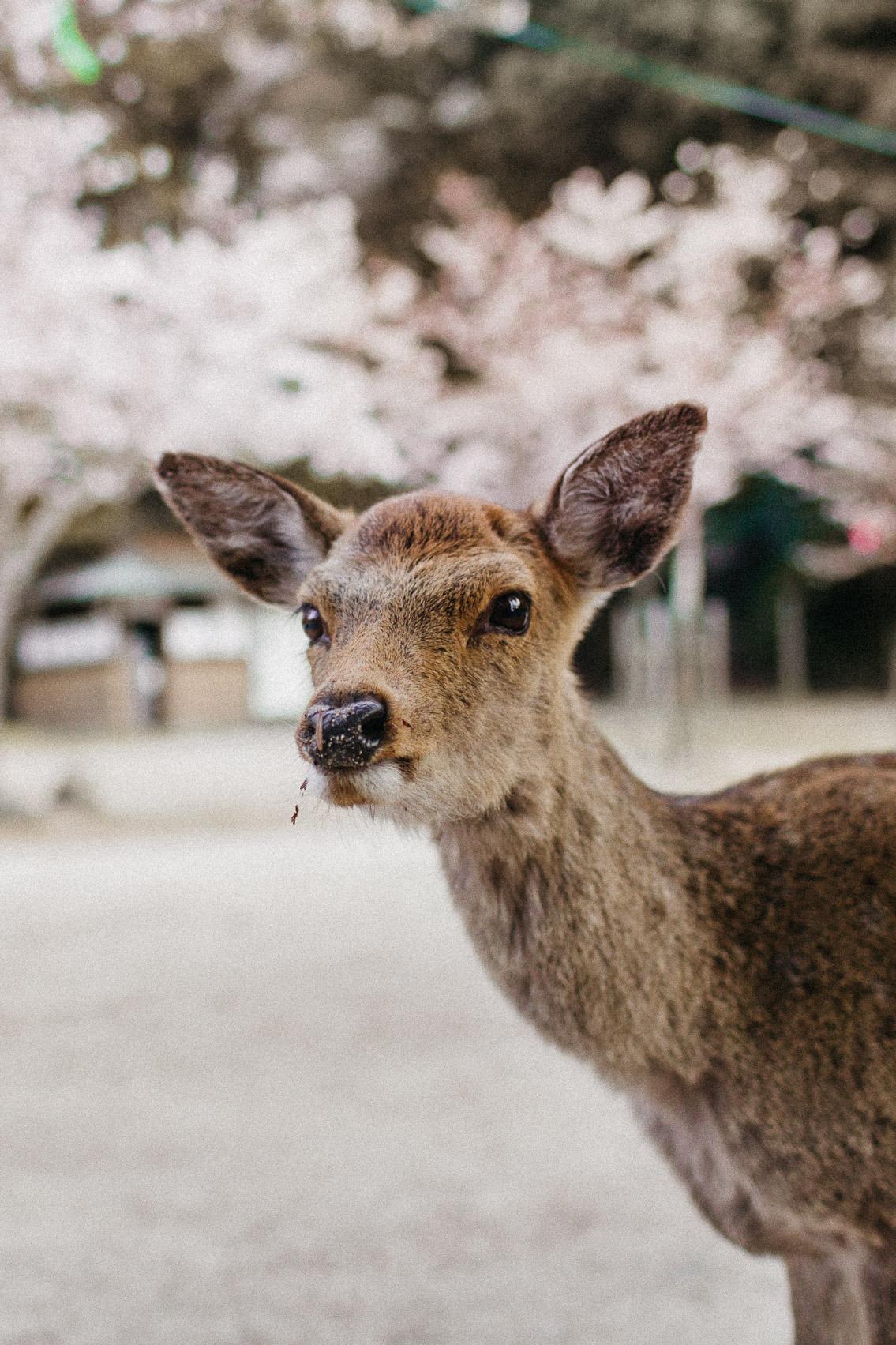 Sakura in Momijidani Park at Miyajima - The cat, you and us