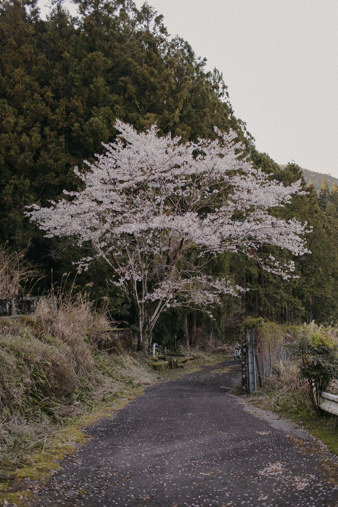 Sakura in Wakayama - The cat, you and us